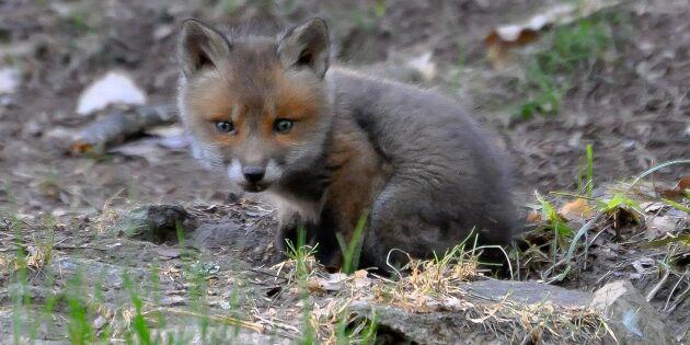 Därför är räven ett gott tecken: Lägre risk för borrelia