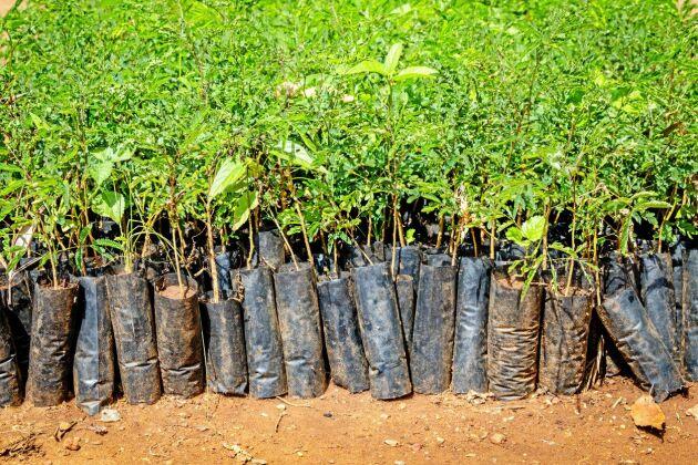I går planterades 220 miljoner träd som ska motverka erosion och torka i Etiopien.