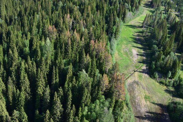 Frosttorka i Duved, där barren blivit rödbrun, i slutet av maj.