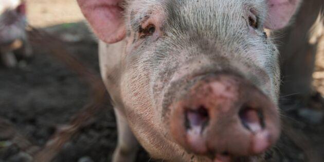 Halv miljon vitryska grisar borta