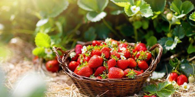 Anlägg jordgubbsland – råden som hjälper dig lyckas