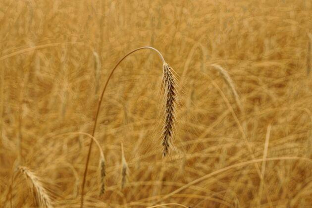 Behåll agronomprogrammet på SLU i sin nuvarande form, tycker debattörerna.