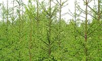 Skogsstyrelsen varnar för granifiering