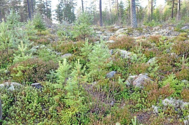 Forskare vid Skogforsk har testat en ny metod för att effektivisera ståndortsanpassning.