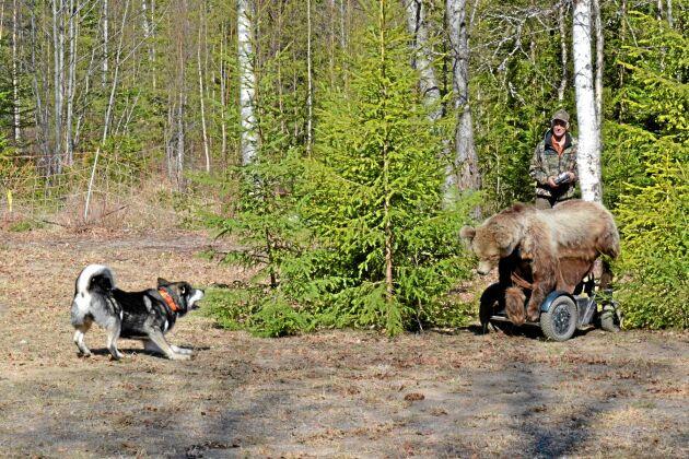 Med hjälp av Sten-Åke Rönnqvists radiostyrda modeller kan hundägare få klarhet i hur deras hundar reagerar i mötet med vilt.