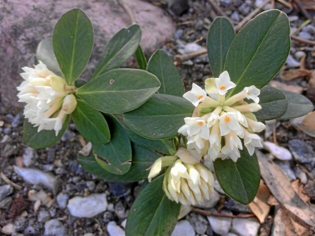 Balkantibast, 'Daphne blagayana', har vita, mycket väldoftande blommor.