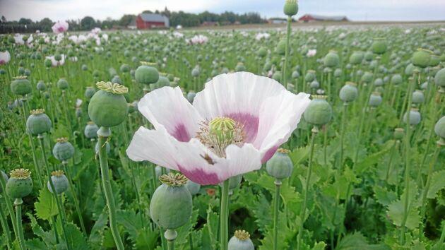 Under några soliga sommardagar vajade de ljusa vallmoblomnorna på fälten i Bjälbo.