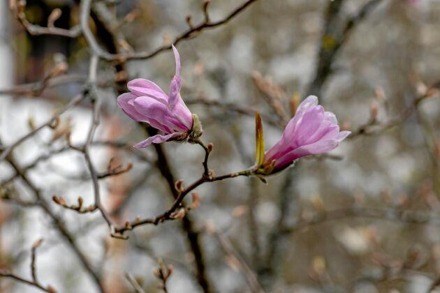 'Leonard Messel' bjuder på tidig rosa blomning.