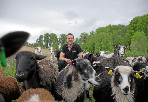 Karl Petter Bergvall med Hälsingefåren som köptes in för att slippa gräsklippning. Men med sambo Jonnas nyvunna intresse för får och vallning planerar man att byta ut besättningen mot dorper och utöka till 120 tackor.