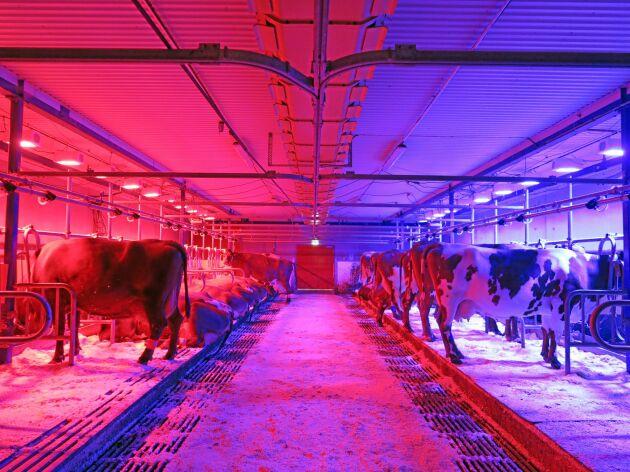 """""""Bara för att en människa tycker att ljuset är mysigt är det inte säkert att korna ser det på samma sätt"""", säger Sigrid Agenäs."""