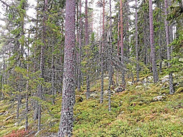 Äldre barrblandskog i nyckelbiotop.