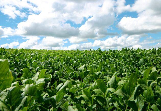 Nye presidenten Jair Bolsonaro vill skövla regnskog och bana väg för bland annat sojaodling.