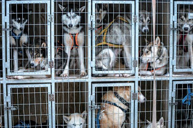 Hundgården med parets 88 huskeys, som ivrigt hoppas på att väljas ut som draghundar.