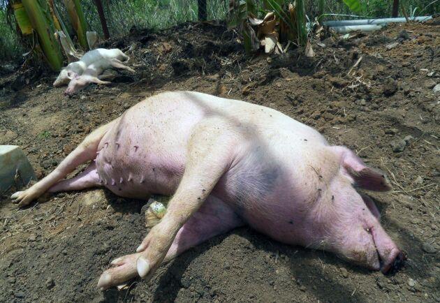 Afrikansk svinpest drabbar tamgrisar och europeiska vildsvin med akut blödarfeber som i de flesta fall leder till döden. Bilden är från Uganda.