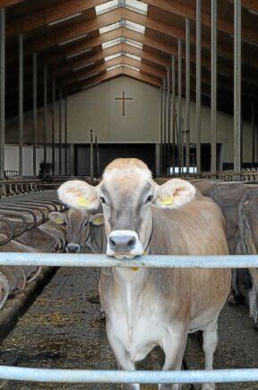 Tittar ut. De mjölkande korna kommer inte ut på bete. Det är bara sinkorna som får lufta sig på sommaren.