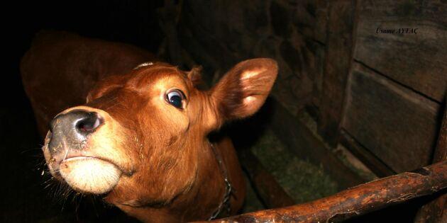 Kalv svårt knivskuren – nu varnas djurägare