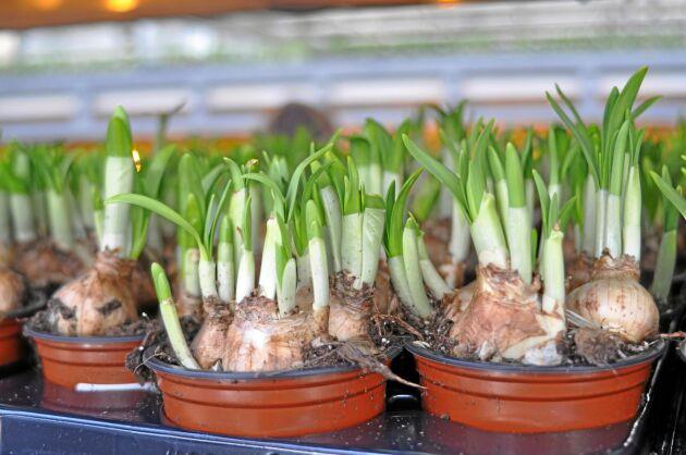 Omtyckta minipåskliljor, eller Tête-a-tête som de också kallas, odlas för fullt inför påsken.