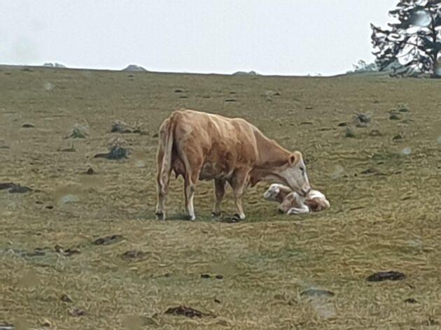 Betena är redan magra och Martin Andersson räknar med 1,5 ko per hektar betesmark, medan andra kan ha 2-3 kor per hektar.