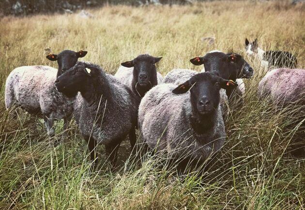 Åtta får har hon också, men de är utlånade för tillfället på grund av betes- och foderbristen.