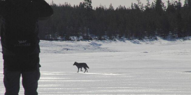 Vargar har etablerat nytt revir i Sörmland