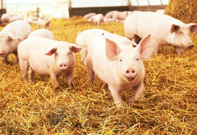 """Militanta aktivister i norra England dödade grisar under en aktion för att """"avslöja verkligheten i grisfabriken"""". (Arkivbild)."""