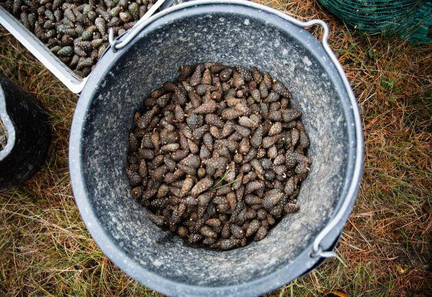 Ur kottarna tas frön som både skickas till plantskolor och för frösådd på hyggen.