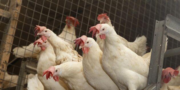 Fågelinfluensa i Nyköping