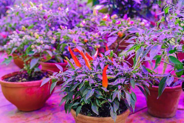 Växtbelysning, en förutsättning för knubbiga små chiliplantor och för plantor som övervintrar inne.