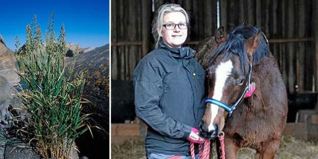 Efter torkan: Rörflen blir strö och foder till hästarna