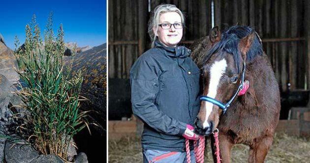 """Rörflen är ett kraftigt gräs som kan bli upp emot två meter högt. Cecilia Haby använder det både torrt som strö och i år även som foder: """"Hästarna gillade det"""", säger hon."""