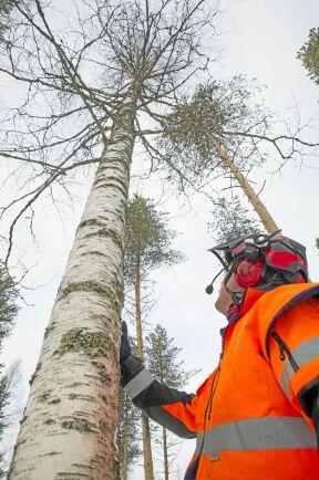 Studera stammen och kronan för att se den naturliga fällriktningen och bestäm hur trädet ska fällas.