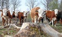 Nötköttspriset fortsätter stiga