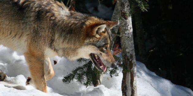 Polis: OK för jägare att skrämma varg i Österbotten
