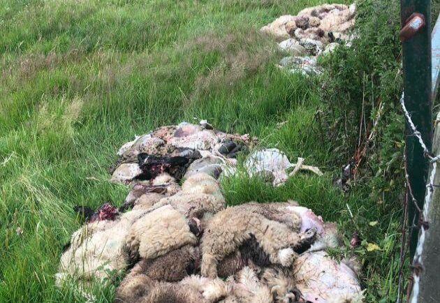 Totalt har 259 får och lamm mördats ute på fälten i Storbritannien sedan början av 2019. Bilden är från slaktbrottet i närheten av Whilton i Northhamptonshire den 9 juli.