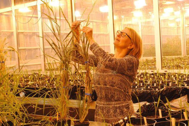 Anna Westerbergh med det nya fleråriga Kernza som för första gången har uppförökats i Sverige.– De fleråriga sädesslagen skulle kunna odlas för flera syften, som spannmål, foder och även som vall och därmed ge lantbrukaren större valmöjlighet. Med en längre odlingssässong på grund av ett varmare klimat kan kanske samma sädesfält nyttjas både som spannmålsodling och vall, säger hon. Anna Westerbegh leder också ett projekt som handlar om förbättring av vattenmättnad hos korn för ett framtida blötare klimat.