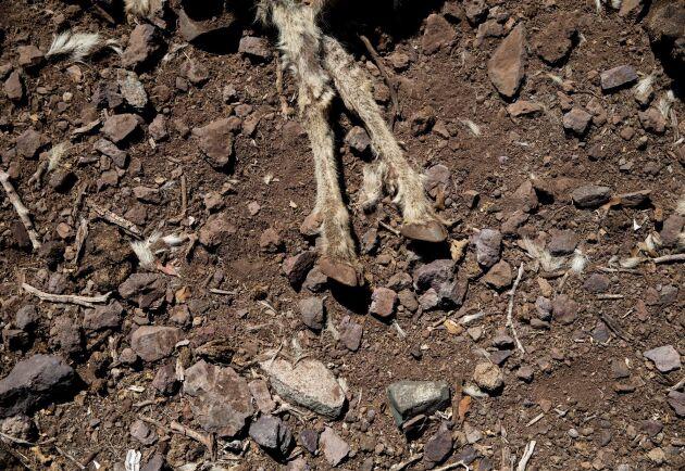 Kvarlevorna efter en get på en bondgård i Putaendo i Chile. Bilden är från i slutet av september.