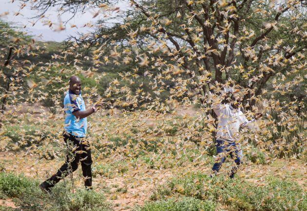 Två män omringas av en svärm av gräshoppor i Samburu i norra Kenya.