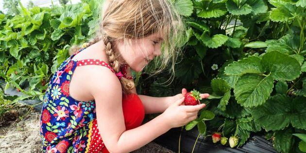 Här kan du plocka ekologiska jordgubbar med barnen