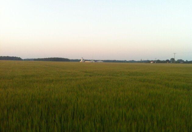 Här breder ett av kornfälten ut sig, även det direktsått.