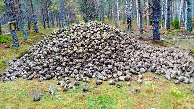 Stora lass av sockerbetor för att utfordra vildsvinen är en källa till konflikter.