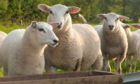 Allvarlig fårsjukdom upptäckt på Gotland
