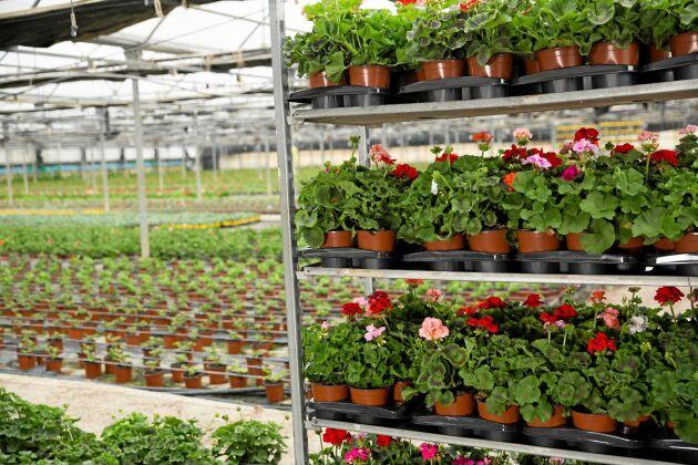 Blommor i långa rader - av bästa kvalitet!