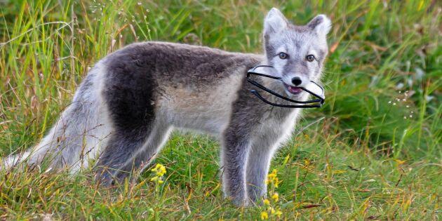 """Fjällrävsvalpen hittade Ewas försvunna glasögon: """"Men vad har den i munnen?!"""""""
