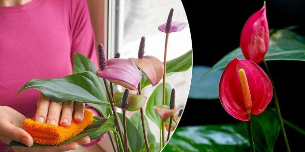 Så lyckas du med rosenkalla och får den att blomma året om