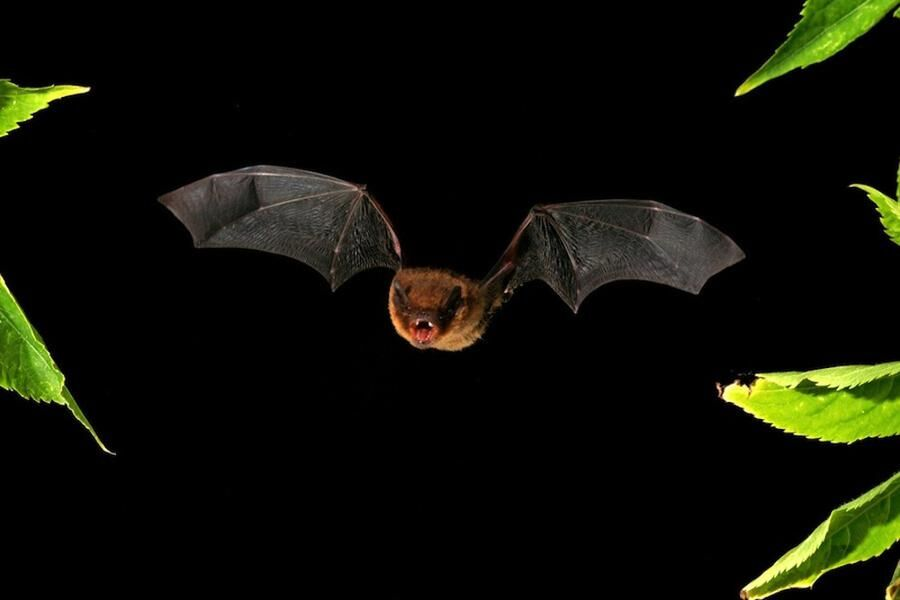 Fladdermöss har vassa tänder, men det är bara insekter som behöver frukta dem.