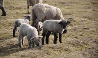 Få fårägare väljer att inseminera