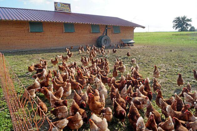 Ägg från frigående höns är tämligen nytt i firman. Det mobila hönshuset flyttas runt på fältet efterhand som hönsen plockat i sig det gröna.
