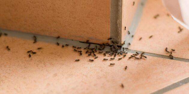 Så vinner du myrornas krig – 8 enkla och miljövänliga knep