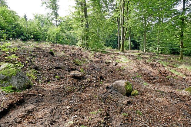 En stor maskin med en markberedare - eller en mindre maskin där påverkan inte blir så stor - allt beror på hur stort behovet är och hur marken ser ut i ursprungsläget. Skogsstyrelsens konsulenter tipsar också om att strö ut majs i skogen där marken behöver bökas, så gör vildsvinen jobbet åt skogsägaren.