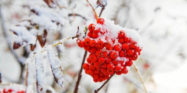 """""""Mycket rönnbär betyder snö"""" –stämmer talesättet?"""